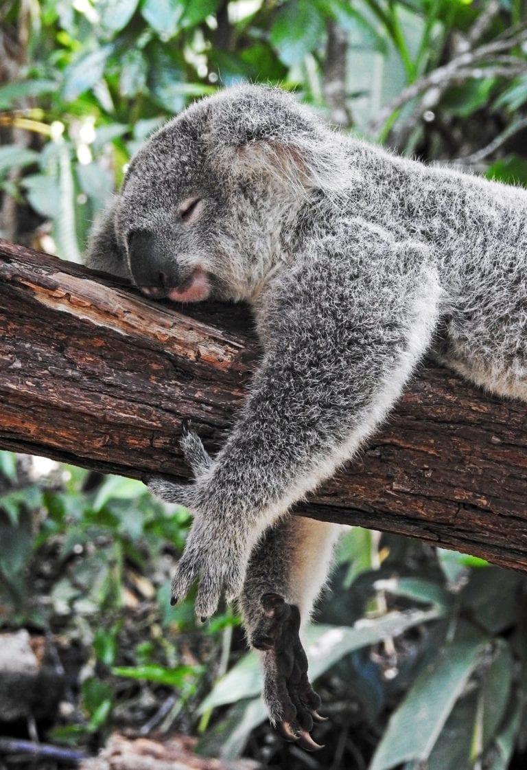 koala sleeping on trunk of tree in forest