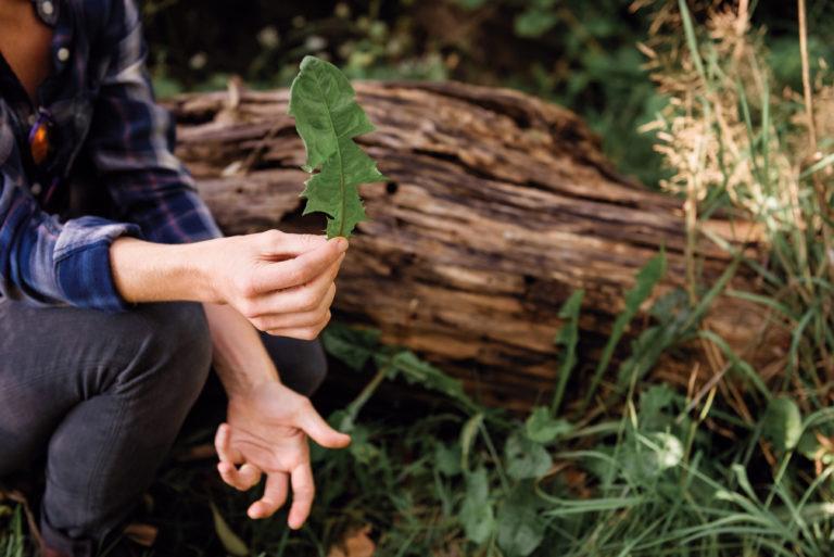 dandelion foraging in the wild